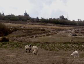 """ADRA Ecuador, colocó en marcha el proyecto """"Previsión de Ovejas"""""""